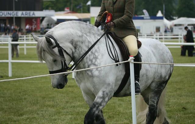 Ridden Highland Ponies