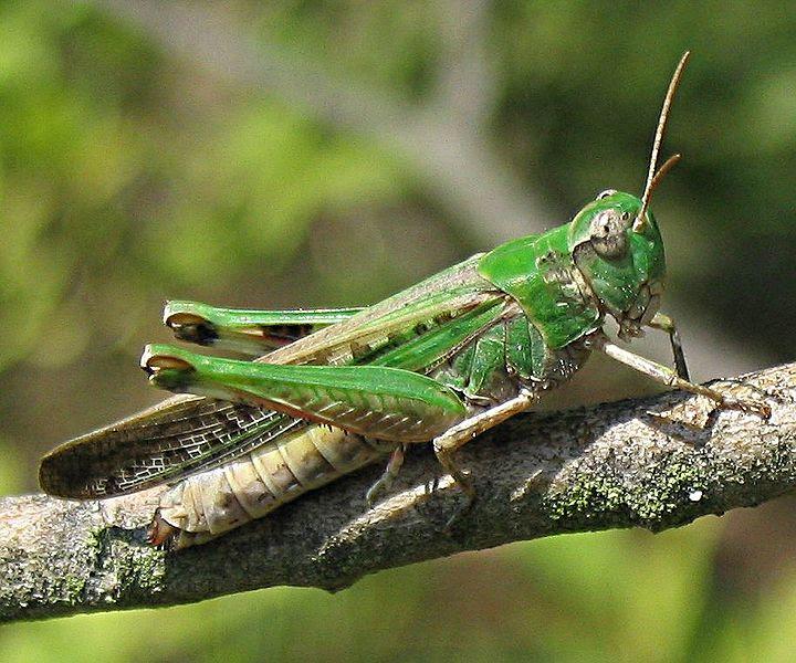 Ficheiro:Aiolopus thalassinus.jpg