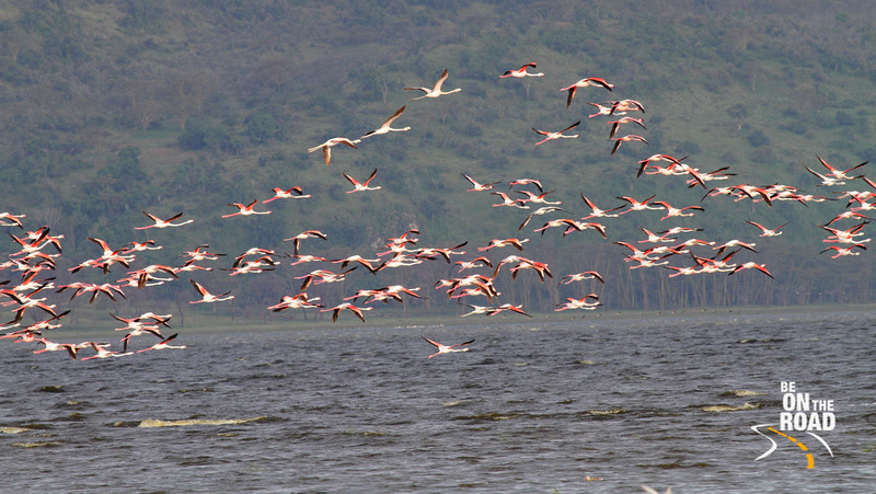 These flamingos like the algae rich waters of the Rift Valley lakes especially Lake Nakuru and Lake Bogoria