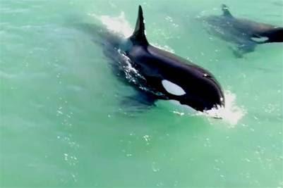 Espectaculares imágenes tomadas desde un drone de las orcas en Punta Ninfas.   orcas en Punta Ninfas Espectaculares imágenes tomadas desde un drone clarin.com