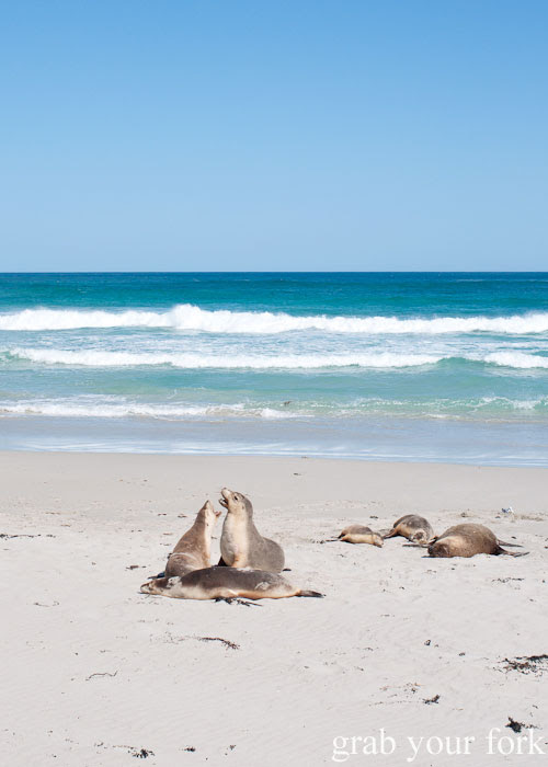 Courting sea lions at Seal Bay Conservation Park, Kangaroo Island
