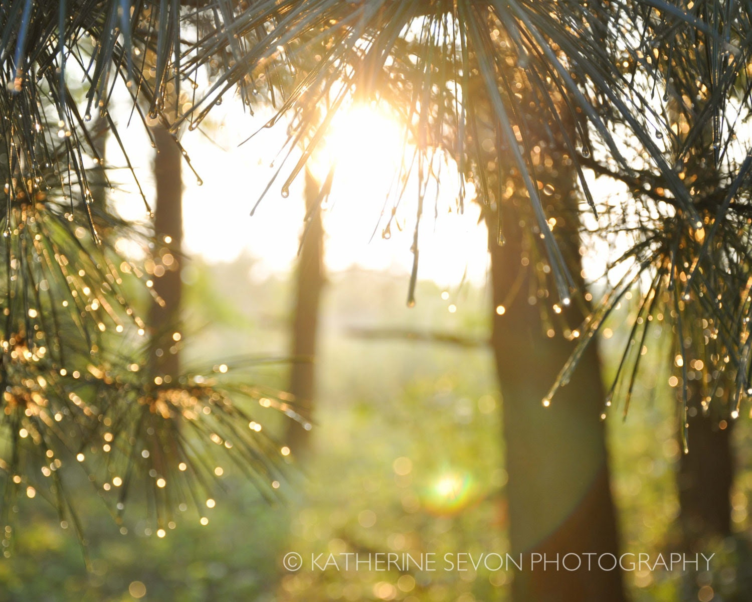 Nature Photography - Fine Art Photography - Pine Trees with Morning Dew - Sun Shining Through Trees - 8x10 Photo Print