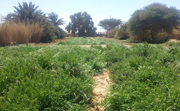 Malas hierbas en el huerto comunitario de Smara, uno de los cinco campamentos de refugiados en la provincia argelina de Tinduf, que se mantiene con «semillas malas».