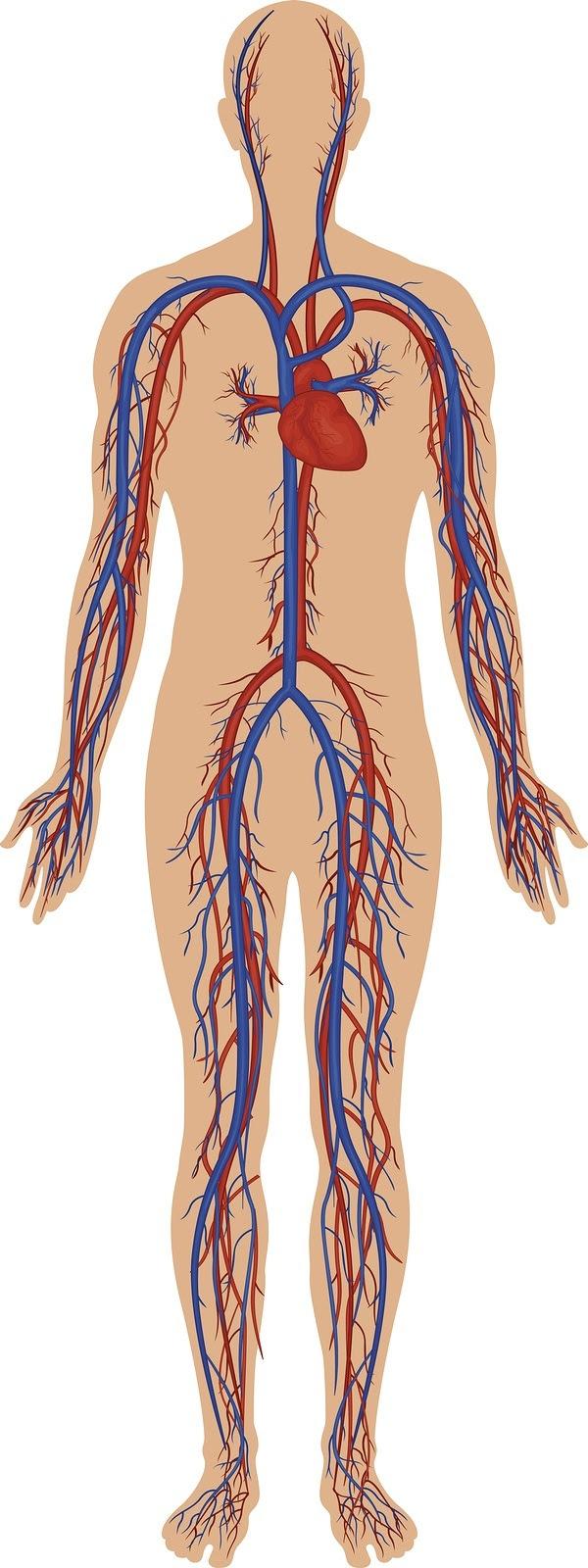 Alto dettaglio illustrazione del sistema circolatorio umano