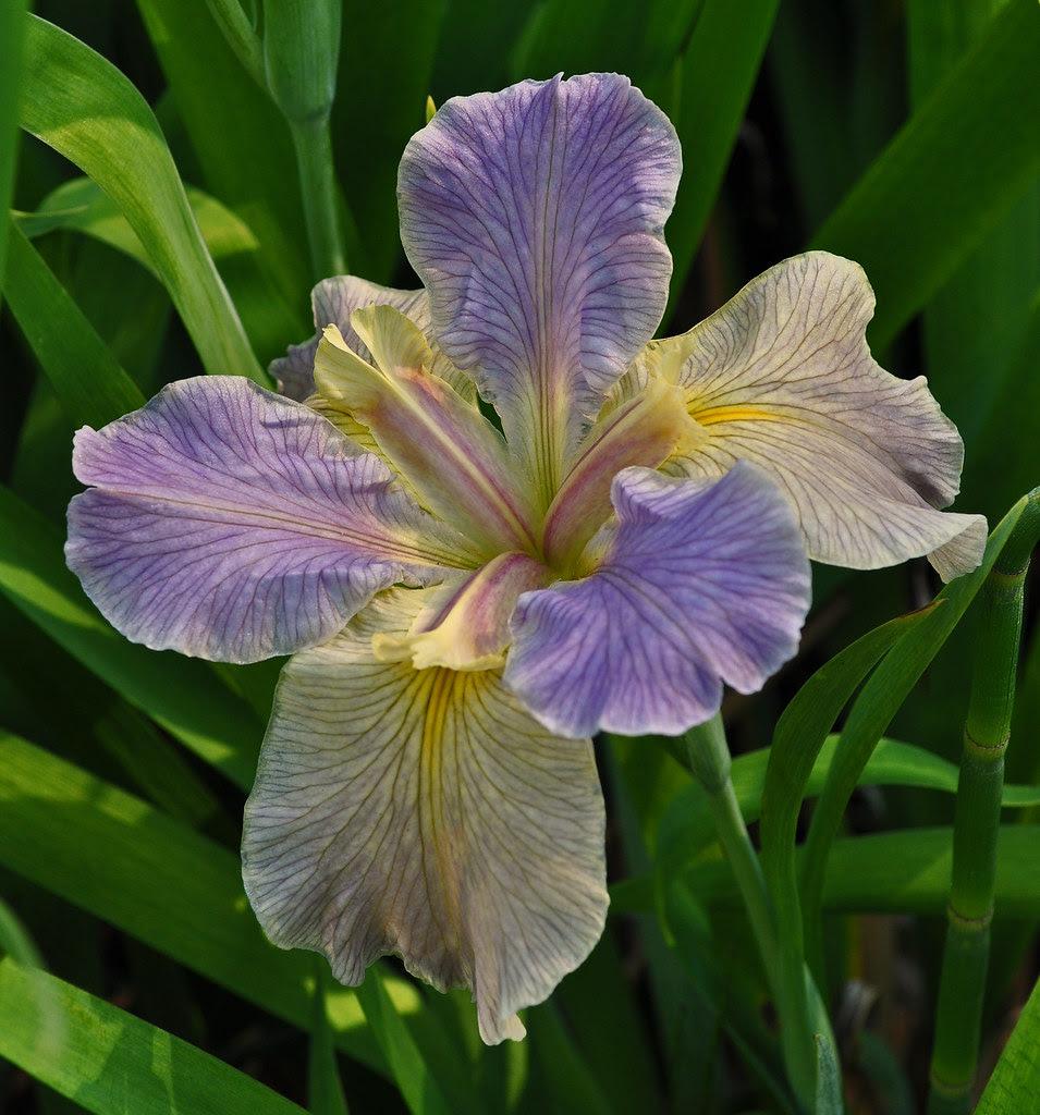 Louisiana Iris (6)
