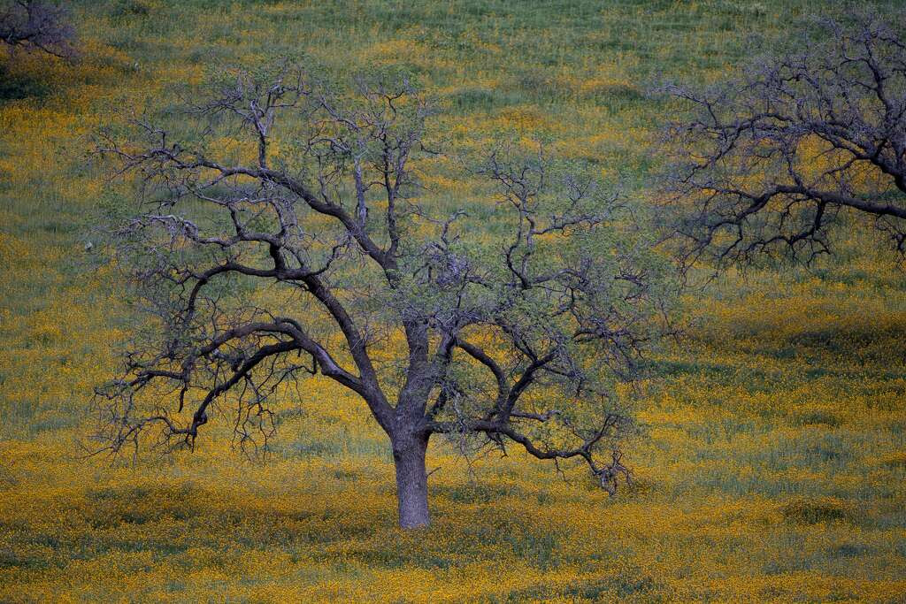 Wildflowers are seen among oak trees at dusk near California State Route 223 on March 4, 2016 west of Tehachapi, California. Despite hopes that the major El Nino effect would bring drought-busting rains to southern California, the storms have been missing the region, delivering only half the rain of a normal year. After a brief period of heavy rain in January, Southern California experienced one of the hottest Februarys ever recorded, prompting early scenic wildflower blooms in several desert and foothill regions.  Photo: David McNew/Getty Images