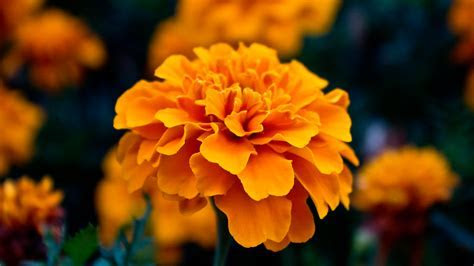 Amazing Orange Flowers 19336 1920x1080 px ~ HDWallSource.com