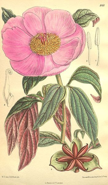 File:Paeonia cambessedesii Bot. Mag. 133. 8161. 1907.jpg