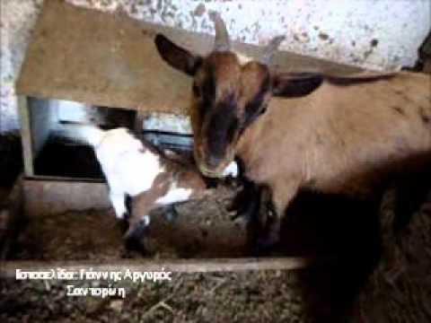ΝΑΝΑΚΙΑ ΚΑΤΣΙΚΑΚΙΑ video dwarf goat