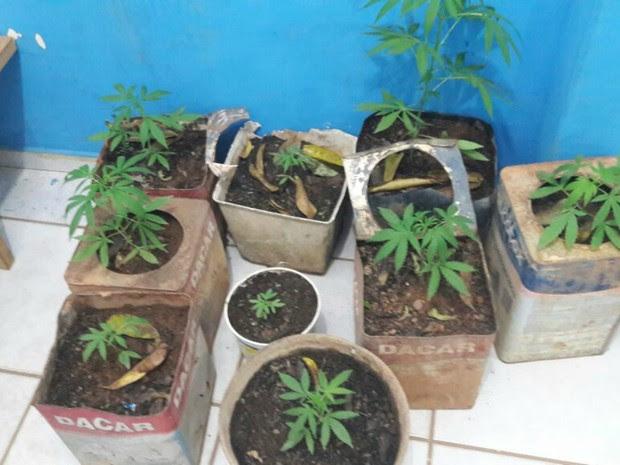 Pés de maconha estavam escondidos dentro de casa (Foto: Eliseu Vieira/Folha do Sul)