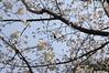 メジロと桜, 熊本城