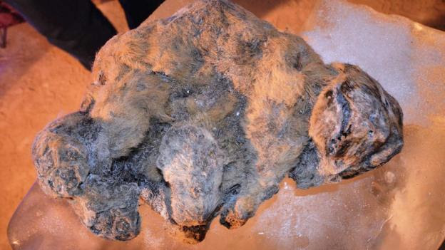 Mummified cave lion (Credit: Academy of Sciences of the Republic of Sakha (Yakutia))