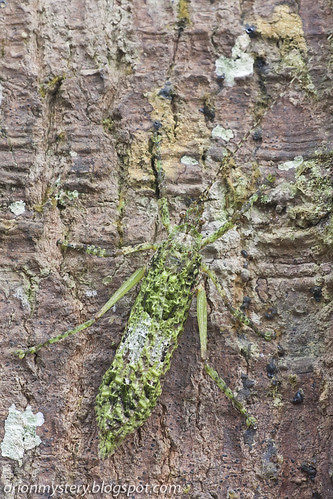 Lichen mimic katydid, <i>Olcinia sp</i>. IMG_6982 copy