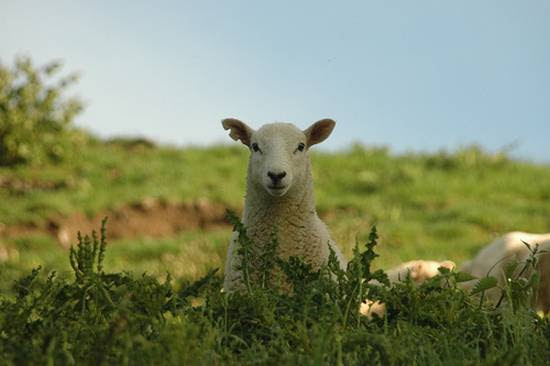προβατα (2)