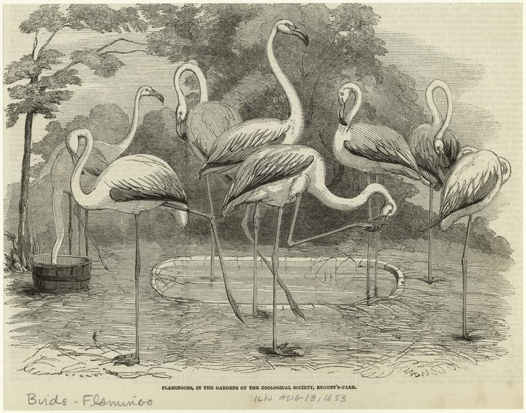 Flamingoes, in the gardens of the zoological society, Regent's-Park.