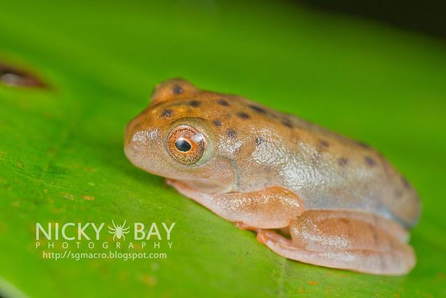 Frog (Anura) - DSC_8964