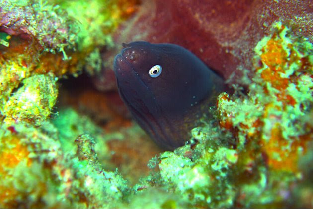This bug-eyed dude is the White-eyed Moray Eel. This eel is commonly found in Malaysian waters.