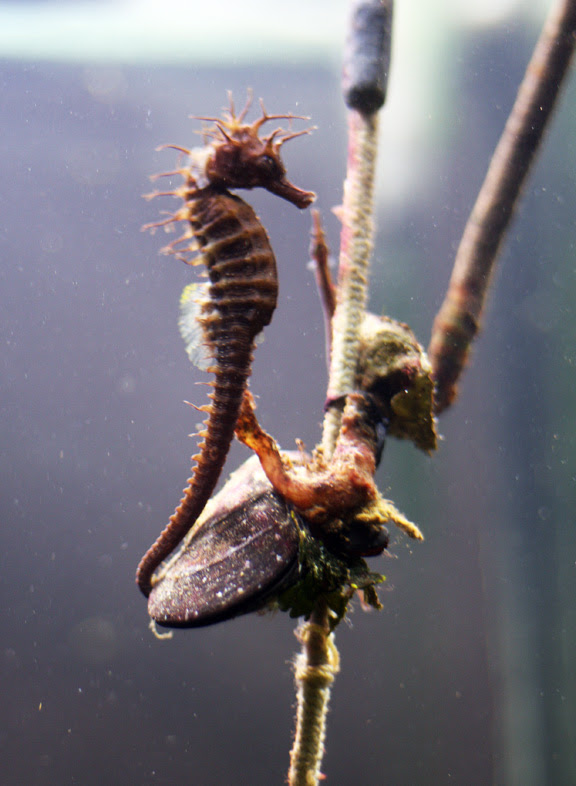 aquarium sea horses