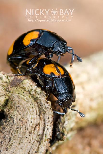 Fungus Beetles - DSC_9473