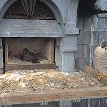 Illkirch-Graffenstaden: y aura-t-il des fauconneaux à Pâques ?
