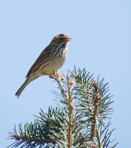 Ed Gaillard: birds &emdash; Savannah Sparrow, Frelinghausen Arboretum