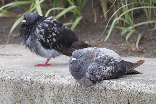 morning after the night before pigeons