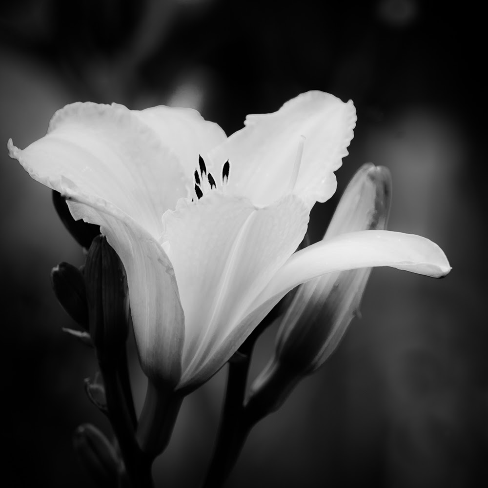 7 Black And White Photography Flowers Images Tumblr Black And