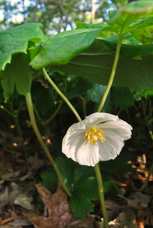 Podophyllum peltatum (2)
