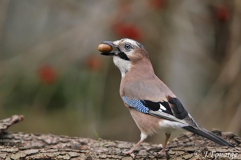 Oiseaux De Notre Jardin  Geai Des Chnes