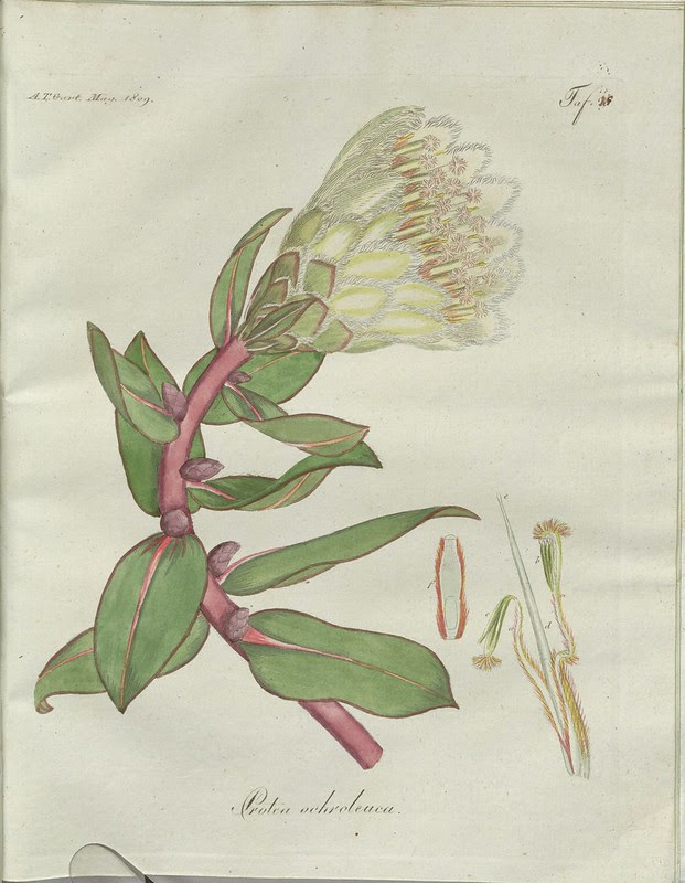Protea ochroleuca (hand-coloured botanical engraving courtesy kulturerbe niedersachsen)