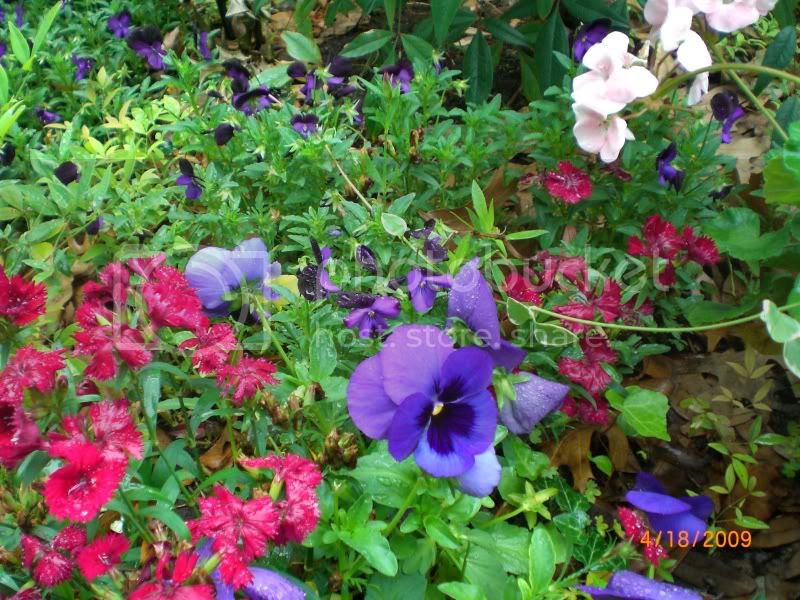 pansies and dianthus