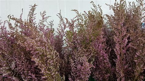Heather Flower Pink Fillers   5 Bunches   Toronto Bulk Flowers