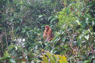 Mono narigudo, Borneo