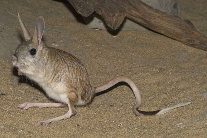 The jerboa doesn't have to drink water regularly. To suffice its water needs, it is able to extract enough from the foods it eats. Also, their long legs help them to jump very high, making them challenging to catch.