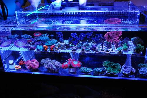 Northern Corals (8)