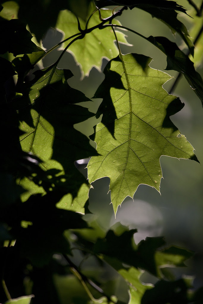 backlit oak leaf