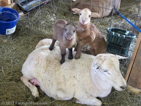 Random lamb snaps 11 - FarmgirlFare.com