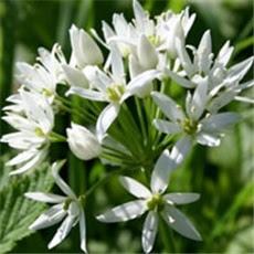 Medvjeđi luk - lat. Allium ursinum L.