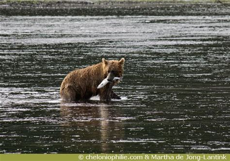 Les photos de l'ours brun
