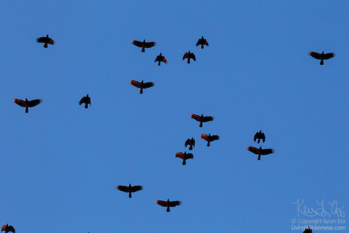 Murder of Crows in Flight, Snohomish County, Washington