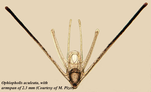 http://depts.washington.edu/fhl/zoo432/plankton/plechinodermata/Ophiopholis%20aculeata.jpg