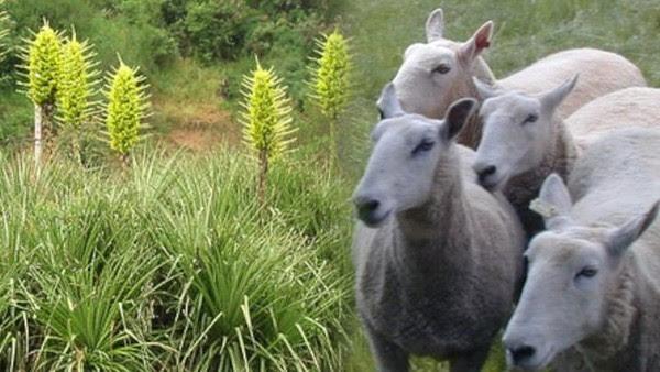 perierga.gr - Παράξενο φυτό που... τρώει πρόβατα!