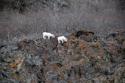 mountain goats_5019 web