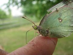 Butterflies like sweat