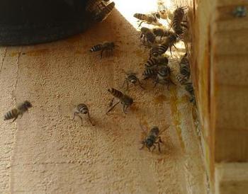 集合フェロモンを出している蜂
