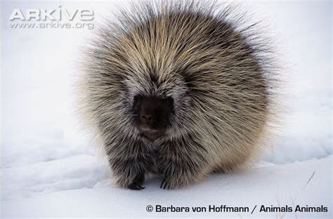 North American porcupine videos, photos and facts   Erethizon dorsatum   Arkive