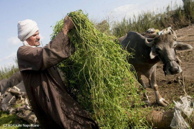 An Egyptian farmer feeding cows fresh fodder. Credit: FAO