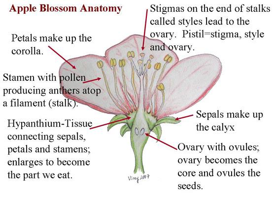 Cherry Blossom Anatomy