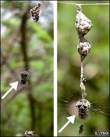 Aranha (à esq.) e seu 'clone' (à dir.) (Foto: I-Min Tso/Divulgação)