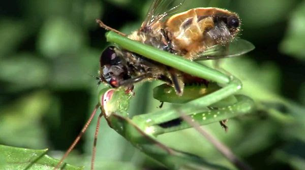 A praying mantis happily chews the face off a hapless fly in this screenshot from a Youtube video.